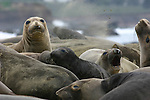 Females and pups, northern elephant seals Northern elephant seal female