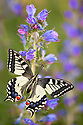 Common Swallowtail butterfly {Papilio machaon} feeding on Viper's Bugloss / Blueweed {Echium vulgare} in alpine meadow. Nordtirol, Tirol, Austrian Alps, Austria, 1700 metres altitude, July.