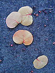 Seagrape leaves on pavement, Puerto Rico
