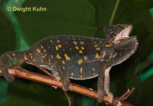 CH39-510z  Female Veiled Chameleon in display colors, Chamaeleo calyptratus
