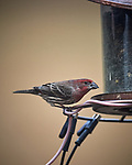 House Finch. Image taken with a Nikon D5 camera and 600 mm f/4 VR lens (ISO 1000, 600 mm, f/4, 1/1250 sec)