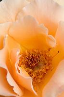 Rose flower 'Just Joey' Hybrid Tea at Heather Farms organic garden