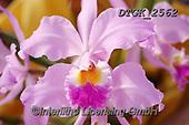 Gisela, FLOWERS, BLUMEN, FLORES, photos+++++,DTGK2562,#f#, EVERYDAY ,orchids