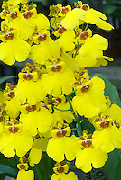 Oncidium Sweet Sugar 'Million Dollar' with many little yellow spray shower orchids