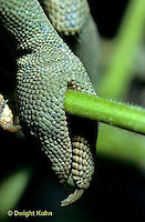 CH24-008g  African Chameleon - foot well adapted for climbing, note opp. claws -  Chameleo senegalensis