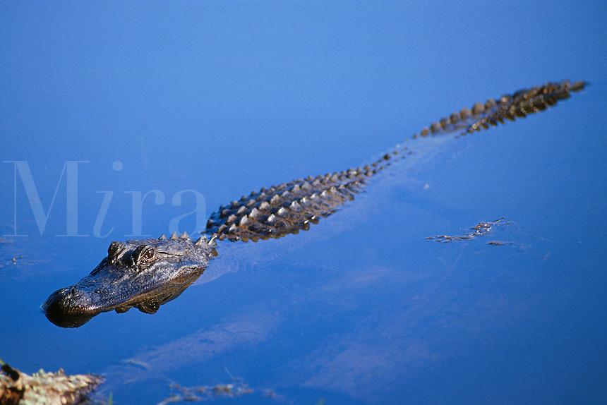 Alligator floating in lake. Rosenberg Texas, Brazos Bend State Park.