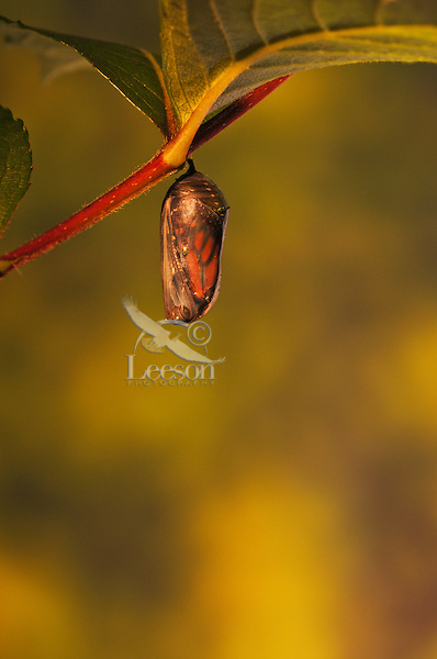 Monarch (Danaus plexippus) chrysalis appears translucent minutes before emergence of butterfly.