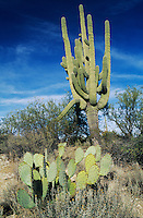 Saguaro Cactus (Carnegiea gigantea), and prickly pear cactus, Saguaro National Park, Tucson, Arizona, USA,