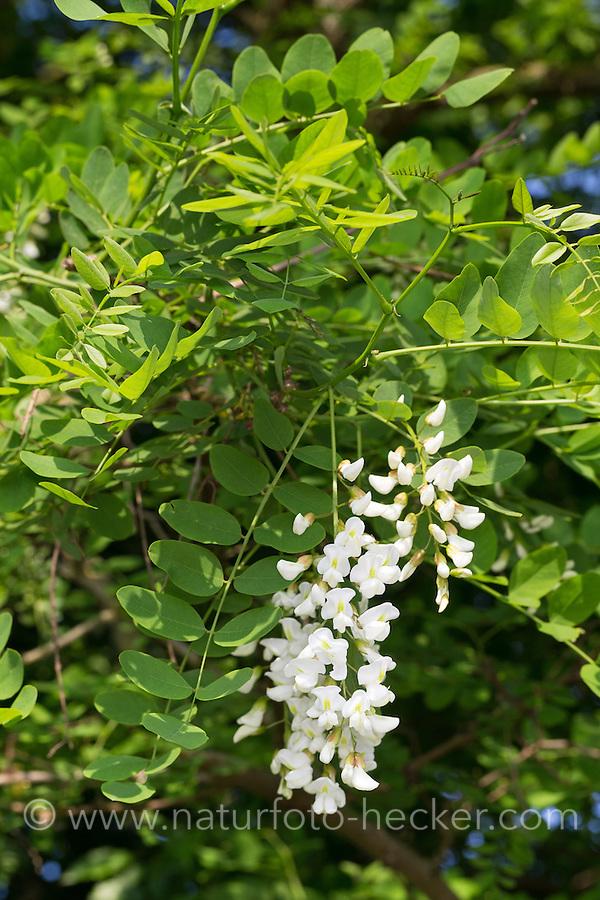 Robinie, Gewöhnliche Scheinakazie, Schein-Akazie, Blüten, Robinia pseudoacacia, False Acacia, Black Locust, Robinia