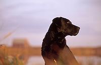 A Black Labrador dog.