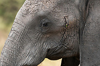Close-up of the eye of an African Elephant, Loxodonta africana, in Tarangire National Park, Tanzania