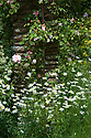 Ox-eye daisies and climbing rose, Vann House and Garden, Surrey, mid June.