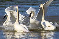 Adult trumpeter swans fighting. There was a lot of this going on.