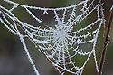 Frost-coved orb-web. Peak District NAtional park, Derbyshire, UK. December.