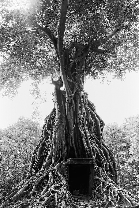 The trees and vegetation taken over the temples at the Pre-Angkorian temple complex of Sambor Prei Kuk (Khmer:  is located about 30 kilometers to the north of the town of Kampong Thom, Cambodia. It was also known as Isanapura, and was the capital of the Chenla Kingdom.<br /> <br /> Located on the Eastern bank of Tonle Sap close to the Sen River, the central part of Sambor Prei Kuk is divided into three main groups. Each group is located in a square lay out surrounded by a brick wall. The structures of the overall archaeological area were constructed at variable times: the southern and north groups (7th century) by Isanavarman I, and the central group (later date). <br /> <br /> The buildings of Sambor Prei Kuk are characteristic of the Pre-Angkorean period with a simple external plan. The principal material is brick, but sandstone is also used for certain structures. Architectural features include numerous prasats, octagonal towers, shiva lingams and yonis, ponds and reservoirs, and lion sculptures. Sambor Prei Kuk is located amidst mature sub-tropical forests with limited undergrowth. The area has been mined and could still contain unexploded ordnance.