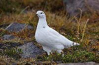 Adult White-tailed Ptarmigan (Lagopus leucurus) in winter plumage. Mount Rainier, Washington. October.