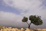 Israel, Lower Galilee, a Carob tree on Mount Arbel