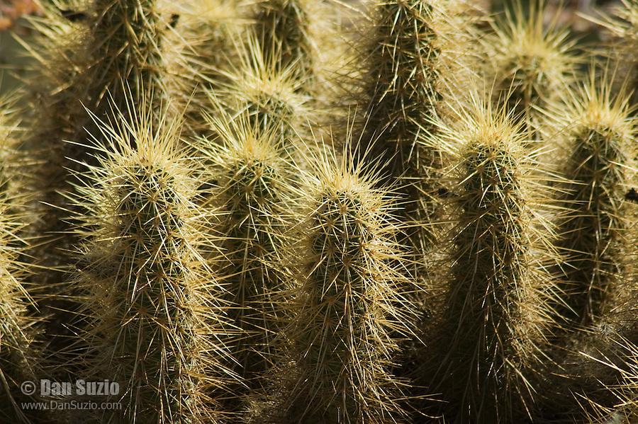 Hedgehog cactus, Echinocereus engelmannii. Arizona-Sonora Desert Museum, Tucson, Arizona
