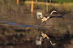 Redish Egret Canopy Feeding