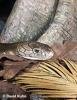 0503-1105  King Cobra (India, Largest Venomous Snake in the World), Detail of Head, Ophiophagus hannah  © David Kuhn/Dwight Kuhn Photography