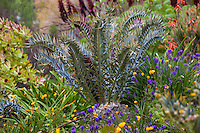 Encephalartos horridus Eastern Cape blue cycad, in South African section of University of California Berkeley Botanical Garden