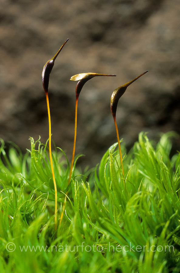 Gewöhnliches Gabelzahnmoos, Besenmoos, Dicranum scoparium, Broom moss, Dicrane en balai