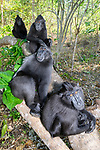 Troop of Sulawesi or Celebes crested macaques or Sulawesi or Celebes black macaques (Macaca nigra)(known locally as yaki or wolai) social grooming. Tangkoko National Park, Sulawesi, Indonesia.
