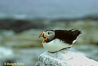 MC30-002z  Atlantic Puffin - on rocks at Machias Seal Island, Bay of Fundy - Fratercula arctica