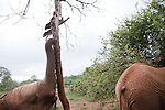 Orphaned baby elephants feeding at the David Sheldrick Wildlife Trust in Nairobi National Park. The elephants range in age from  six months to three years. When one lies  down the others pile on playfully.
