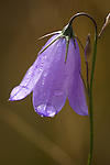 Blue Harebell wildflower