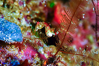 Pontoh's pygmy seahorse, or weedy pygmy seahorse, Hippocampus pontohi, Raja Ampat, West Papua, Indonesia, Pacific Ocean