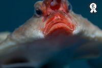 Red-lipped batfish (Ogcocephalus Darwini), close-up (Licence this image exclusively with Getty: http://www.gettyimages.com/detail/sb10065145bp-001 )