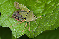 Grüne Stinkwanze, Palomena prasina, common green shield bug