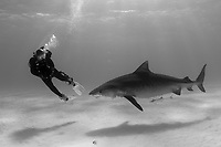 A Tiger shark (Galeocerdo cuvier) and scuba diver in the Bahamas, Caribbean, Atlantic