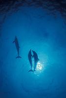 Atlantic spotted dolphins frolicking near the surface, Bahamas banks. Stenella frontalis, Bahamas, Caribbean, Atlantic