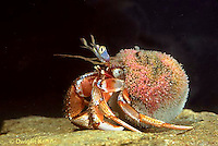 1Y30-016c  Acadian Hermit Crab - Pagurus acadianus