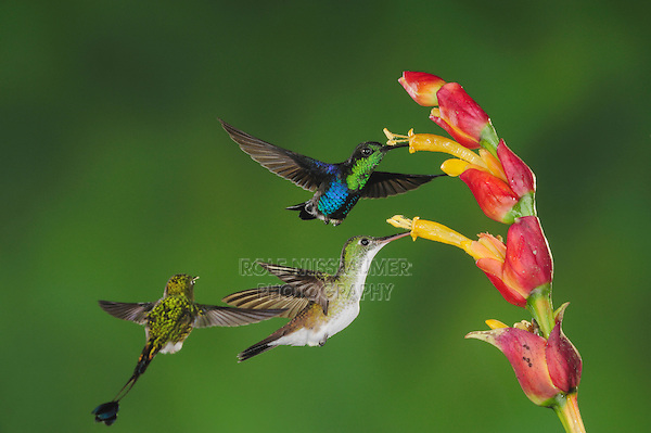 Green-Crowned Woodnymph (Thalurania fannyi)Booted Racket-tail(Ocreatus underwoodii),Andean Emerald ( Amazilia franciae),adults feeding on ginger flower,Mindo, Ecuador, Andes, South America
