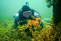 leafy Seadragon, Phycodurus eques, A scuba diver observing a leafy seadragon under a pier in South Australia, Wool BAy, South Australia, Australia, Southern Ocean