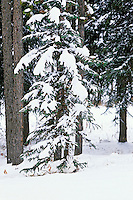 Snowshoe hare resting beneath tree in northern forest, winter.