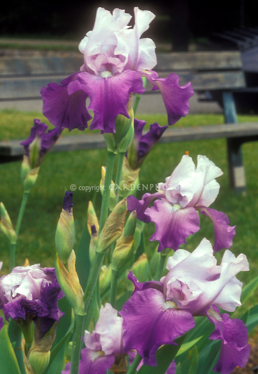 Iris Gay Parasol or similar bearded