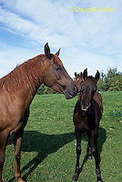 SH09-001z  Arabian Horse - mare with colt