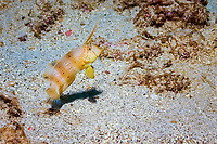peacock razorfish, Xyrichtys pavo, juvenile, Cocos Island, Costa Rica, Pacific Ocean