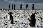Manchots papous à Yankee harbour. Croisière à bord du NordNorge. Péninsule Antarctique