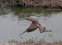 0308-0896  Diving Brown Pelican, Pelecanus occidentalis © David Kuhn/Dwight Kuhn Photography