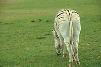 Greveys Zebra, Equus Grevyi, grazing on new grass in Kenya from behind