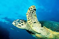 hawksbill sea turtle, Eretmochelys imbricata, Thailand, Andaman Sea (Indian Ocean)