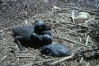 Rosapelikan, Rosa-Pelikan, Pelikan, Küken im Nest, Gelege, Pelecanus onocrotalus, White Pelican, Pélican blanc