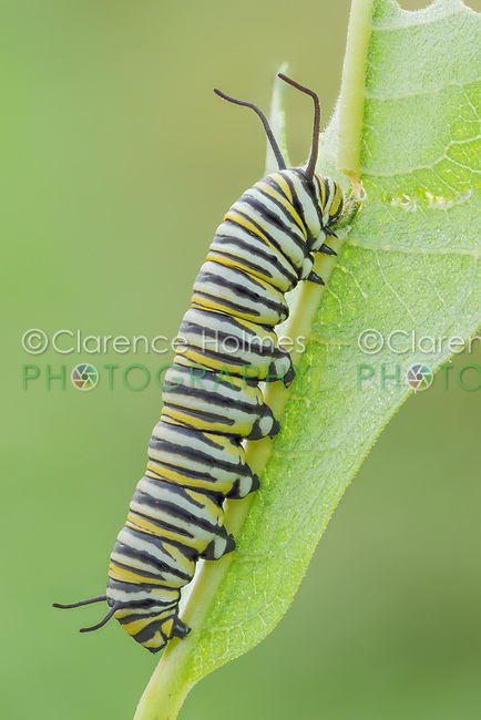 A Monarch Butterfly (Danaus Plexippus) caterpillar (larva) 5th instar feeds on a Milkweed plant leaf.