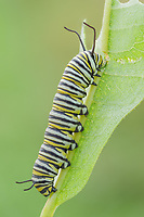A Monarch Butterfly (Danaus Plexippus) caterpillar (larva) 5th instar feeds on a Milkweed plant leaf.