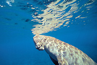 dugong or sea cow, Dugong dugon, breathing at surface, Indo-Pacific Ocean